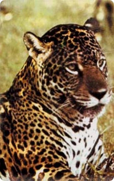 Calilegua_jaguar
