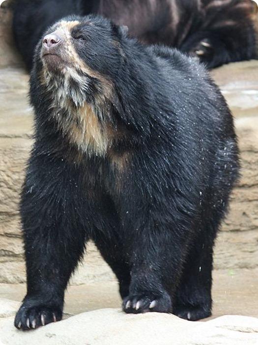 Baritu-Spectacled_Bear_059